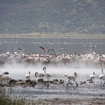 Flamingos appear to float in and out of the steam from hot springs at Lake Bogoria, Kenya