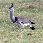 http://www.kenyaview.earthworldview.com/kv/kenyaView_Kenya_Birds_Kori_Bustard.html
