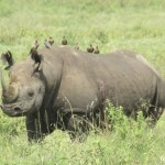 Two of the species of rhino are native to Africa