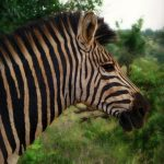 Equus zebra hartmannae is the scientific name of Hartmann's Mountain zebra