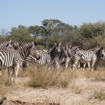 Zebras have four gaits: walk, trot, canter, and gallop