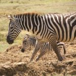 "The etymology of the name ""zebra"" is uncertain"