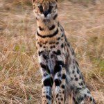 The most famous Kenyan animals are the Big 5