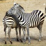 The common plains zebra can weigh up to 350 kg