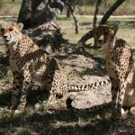 The East and South African population of cheetahs are represented by different subspecies