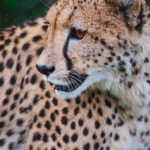 Global wild cheetah population is estimated to be 7,500 with the last significant populations remaining in Southern and East Africa and are represented by different subspecies