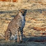 Over the years cheetahs have greatly reduced due to loss of habitat
