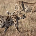 Over the years cheetahs have greatly reduced in numbers due to an increase in human population that has led to habitat loss