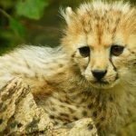 Over the years cheetahs have greatly reduced due to conflicts with people