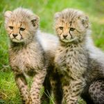 Over the years cheetahs have greatly reduced in numbers due to an increase in human population that has led to habitat loss, and a reduction in prey base