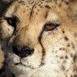 Over the years cheetahs have greatly reduced in numbers due to an increase in the human population that has led to habitat loss, and conflicts with people