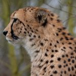 Over the years cheetahs have greatly reduced due to an increase in human population that has led to habitat loss, as well as conflicts with people