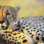 Over the years cheetahs have greatly reduced in numbers due to an increase in human population that has led to habitat loss, as well as conflicts with people