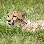 Over the years cheetahs have greatly reduced in numbers due to an increase in the human population that has led to habitat loss, as well as conflicts with people