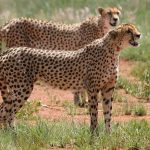Cheetahs don't avoid water but swim across rivers