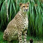 Over the years cheetahs have greatly reduced due to habitat loss, conflicts with people, and diseases