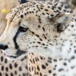 Over the years cheetahs have greatly reduced due to habitat loss, conflicts with people, as well as diseases