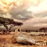 Over the years cheetahs have greatly reduced due to human population increase that has led to habitat loss, conflicts with people, a reduction in prey base, diseases as well as poorly managed tourism