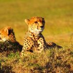 "Cheetahs are considered ""Vulnerable"""