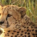 It is believed that the population of cheetah have declined by 30% during the last 18 years primarily due to anthropogenic factors