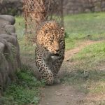 The population of cheetah have declined by 30% during the last 18 years primarily due to anthropogenic factors