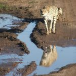 Cheetah does not avoid water but swims across rivers