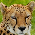 The population of cheetah have dropped by 30% during the last 18 years primarily due to anthropogenic factors