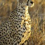Cheetah is known for its incredible speed