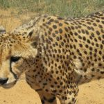 Cheetahs are the fastest animals on earth