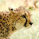 The cheetahs are the fastest animals on earth