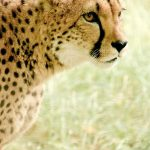 A cheetah is the fastest animal on earth