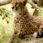Cheetah is the fastest animal on earth