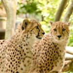 To see the cheetah whilst on safari is a privilege