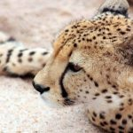 To see cheetah whilst on safari is a privilege