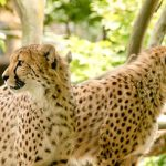 To see cheetahs whilst on safari is a privilege