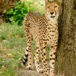 To see cheetahs on safari is a real privilege
