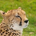 Cheetah is amongst the most beautiful of African animals