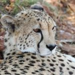 Cheetah is amongst the most elusive of African animals