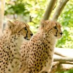 The cheetahs are amongst the most elusive of African animals