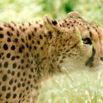 Cheetahs are amongst the most beautiful and elusive of African animals