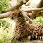 The cheetahs are amongst the most beautiful and elusive of African animals