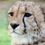 Cheetahs are amongst the most elusive and beautiful of African animals