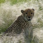 Cheetah is amongst the fastest, the most beautiful as well as elusive of African animals