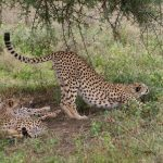 Cheetahs hunt at night to avoid disturbance and hot weather