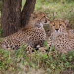 The cheetah hunts alone or in group
