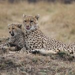 Cheetahs hunt both alone and in group