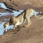 The cheetahs hunt both alone and in group