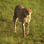 Cheetah uses a slow-speed hunt or full-speed-chase