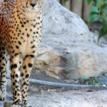 Globally cheetah population is estimated to be 7,500