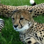 Wild cheetah population is estimated to be 7,500